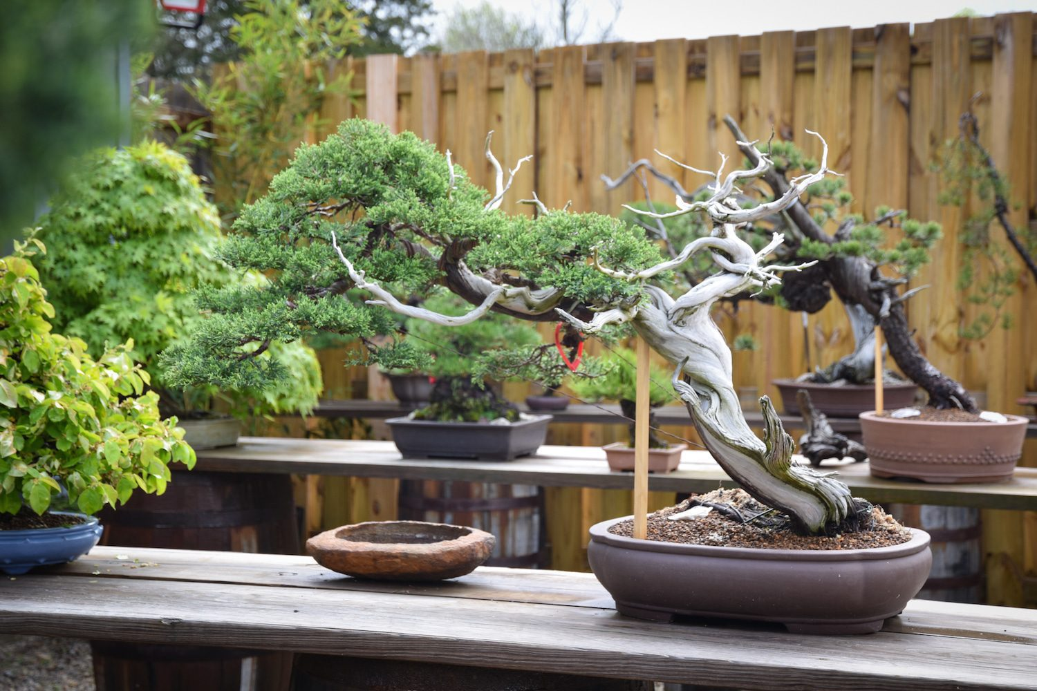 Rocky Mountain Juniper collected in Wyoming, approximately 200 years old