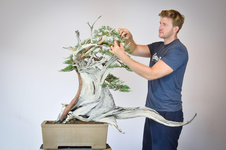 Bjorn Bjorholm styles a One Seed Juniper bonsai tree